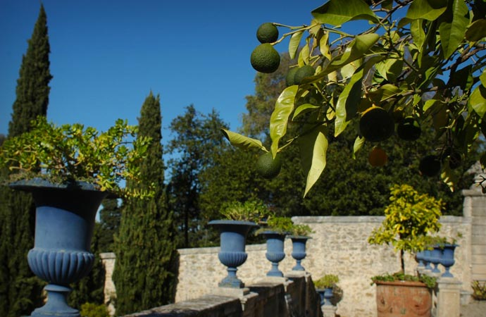 Avocado tree in the garden at Chateau De Flaugergues