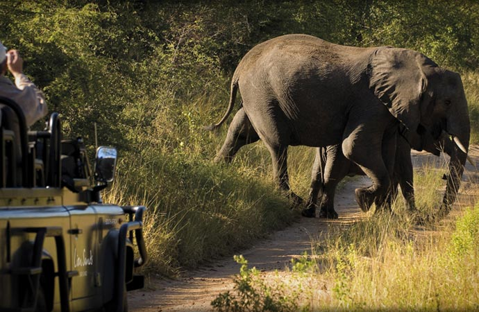Elephant on a safari in South Africa