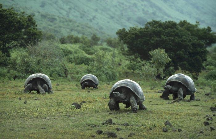 Giant turtles at Galapagos Islands