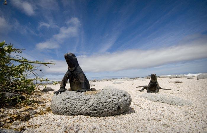 Komodo Dragons at Galapagos Islands
