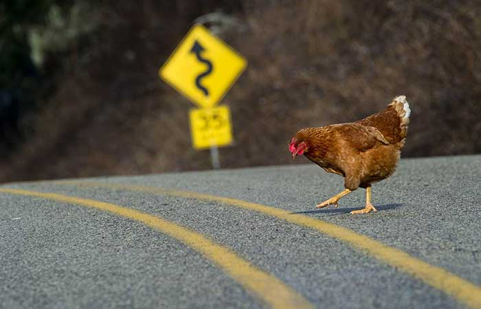 A chicken crossing the road