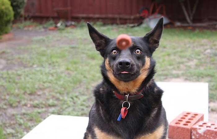 A dog prepared to catch dog food
