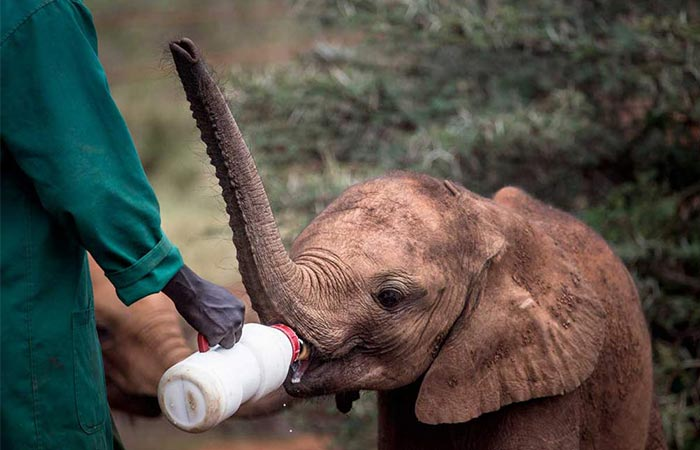 The Safari Collection Feeding The Baby Elephant