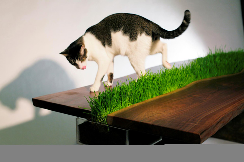 Cat playing with the wheat grass on top of the Planter Walnut Table by Emily Wettstein