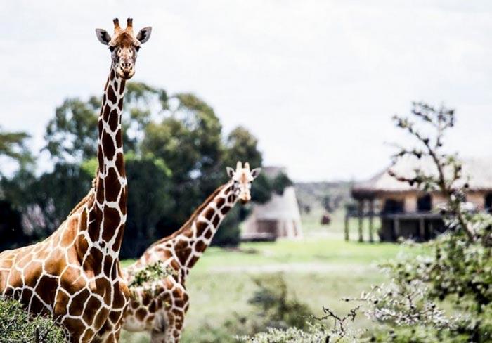 Giraffes at the Segera Retreat in Kenya