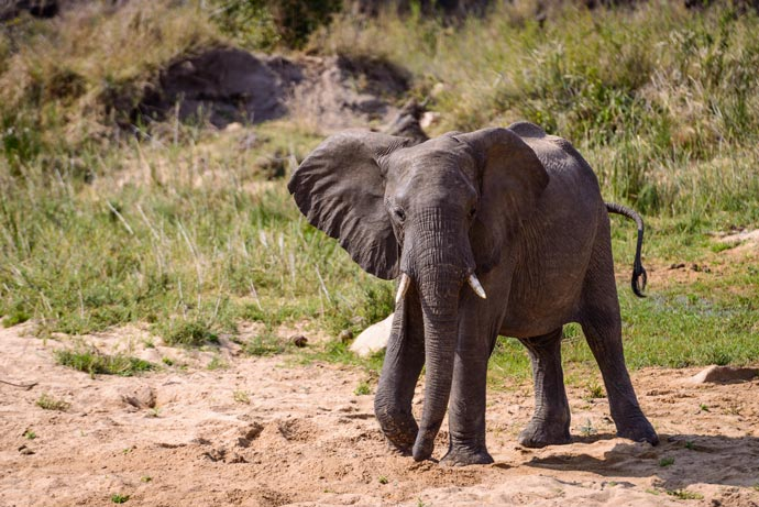 Baby elephant at Leopard Hills