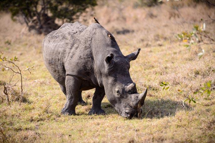 Rhino at Sabi Sand Game Reserve