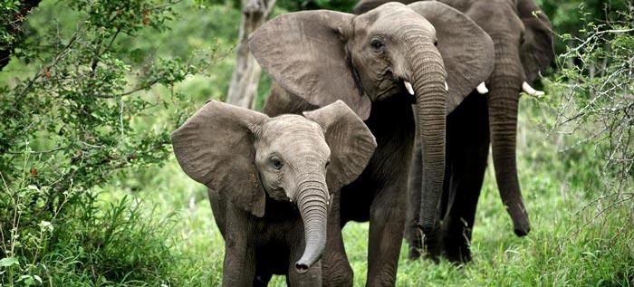 Elephant heard at Singita Sweni Lodge in South Africa