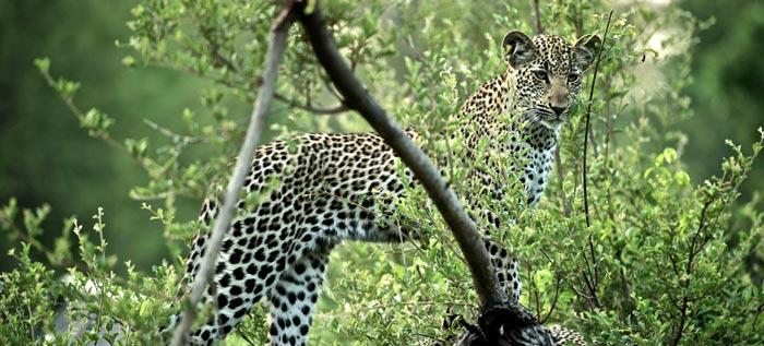 Cheetah at Singita Sweni Lodge in South Africa