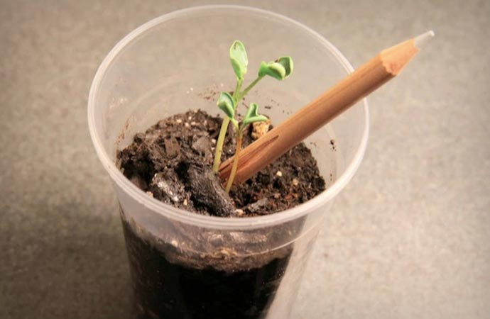 Sprout Plantable Pencil growing into an herb