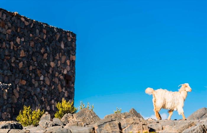 Goat in Oman