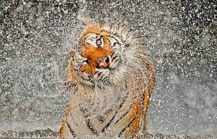 A tiger shaking water off