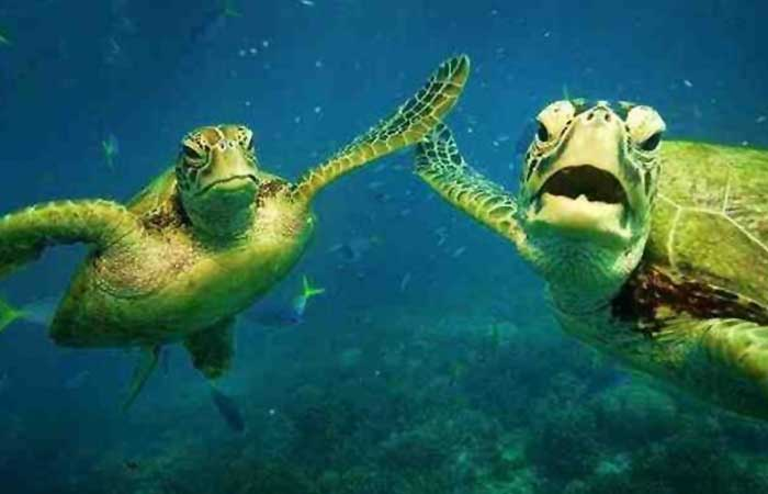 Two turtles high-fiving